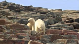 Download [뽀뽀뽀동물원] 배고픈 어미곰과 새끼곰 - A mother and baby polar bear wandering around to find food Video