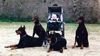 Download Doberman Dog Protects Babies and Kids Compilation ★ Ultimate Protection Dogs Video