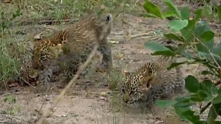 Download SafariLive April 24 Karula brings her cubs to the car! Video