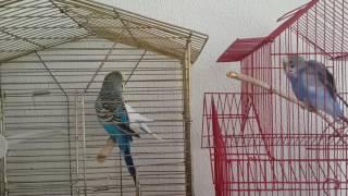 Download Muhabbet kuşu biz konuşurken çifleşmek üzereyken yakalandi 😂😂😂ayıp ayıp Video