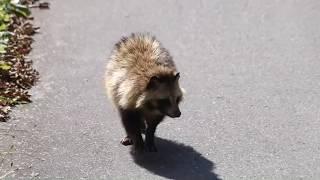 Download とても野生とは思えない!人間大好きな野生のタヌキ Video