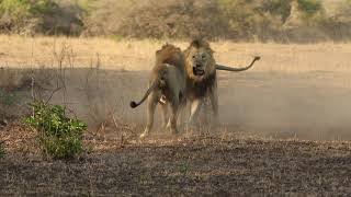 Download Male lions fighting over territory - Photowildsa Video