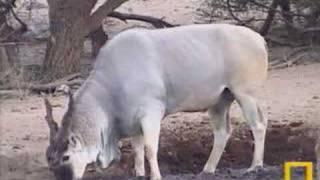 Download Eland, impala, kudu Video