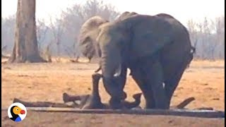 Download Lions Circle Trapped Baby Elephant UNTIL Another Elephant Family Shows Up | The Dodo Video