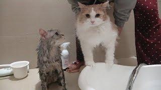 Download 두 고양이가 같이 목욕했더니 생긴 일 Video