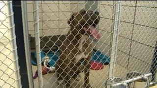 Download Deadly dog to be euthanized Video