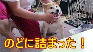 Download 柴犬小春 【アクシデント発生!】楽しいおやつも丸呑み注意!get stuck in the throat Video