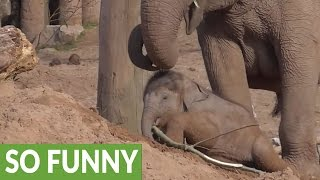 Download Baby elephant gets itself stuck in the sand Video