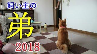 Download 柴犬小春 【ついにこの日が!】年一で遊びに来る飼い主の弟シリーズ2018ver Video