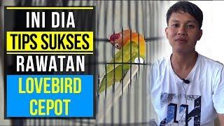 Download INI DIA TIPS SUKSES RAWATAN LOVEBIRD CEPOT Video