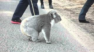 Download 赤ちゃんとママコラMommy Koala Bear With Baby! 妈妈考拉与宝宝 Video