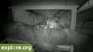 Download Great Horned Owl ATTACKS Peregrine Falcon Nest! Video
