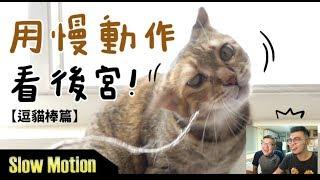 Download 【黃阿瑪的後宮生活】用慢動作看後宮!逗貓棒篇 Video