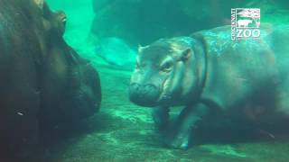 Download Baby Hippo Fiona and Mom Bibi Outside Together - Cincinnati Zoo Video