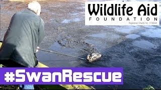 Download Beautiful Swan Rescued from the Horror of a Human Waste Tank Video