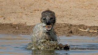 Download Hyena + Water = Crazy Hyena Video