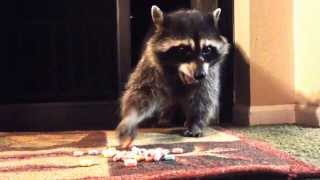 Download Raccoon opens screen door to eat fruit loops Video