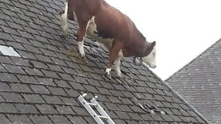 Download Cow Intelligence & ability. Smart cattle. Video