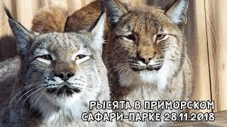Download РЫСЯТА В ПРИМОРСКОМ САФАРИ-ПАРКЕ 28.11.2018 Video