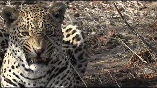 Download SafariLife Nov 09 - The funniest leopard on Djuma....Hosana! Video