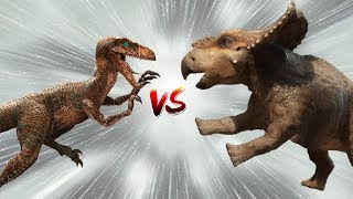 Download Protoceratops vs Velociraptor Fight | And the Winner Is....? | Dinosaur Battle Videos 2018 Video