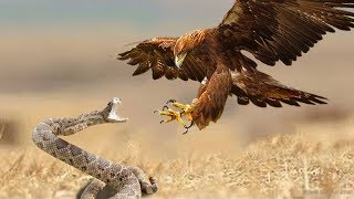 Download Eagles Vs Snake - Snake Try To Escape From Eagle Hunting But Fail - Wild Animals Fight Video