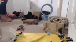 Download Tiny Kittens Marvel cries for Shelly to help him down for fudz too cute Video