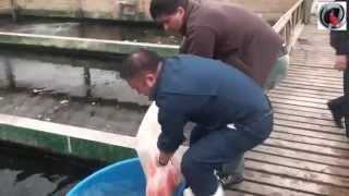 Download El Patio - Dani koi - ATB TV Japan 2013 day 3 Sakai Fish Farm Video