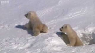 Download Mother polar bear and cubs emerging from den - Planet Earth - BBC Video