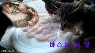 Download 고양이의 배스 회 먹방 Video