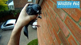 Download GoPro rescue - Pigeon hanging by the beak Video