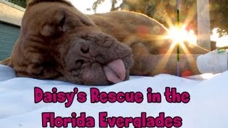 Download Hope For Paws in Florida - Daisy, Dogue de Bordeaux rescue (French Mastiff) - Please share Video
