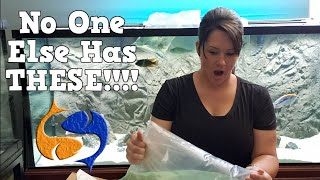 Download I Am The First To Have This Cichlid! New Fish Unboxing And Showing Off The New Fish From LFD! Video
