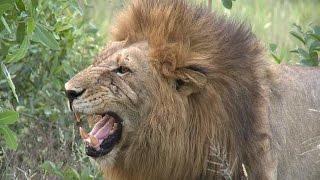 Download Djuma Lion Part 3 Video
