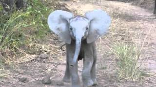 Download Elephant Calf Charging Video