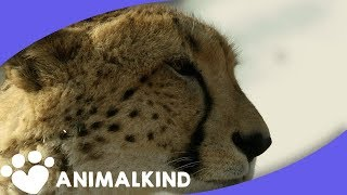 Download Get breathtakingly close to life in the wild Video