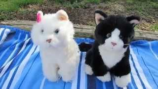 Download Comparing the Small Signature Persian Cat and the Small Signature Tuxedo Cat Video