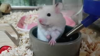 Download [모찌/골든햄스터] 물마시는 모찌 심쿵심쿵♡ ♡ / Hamster drinking water Video
