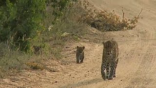 Download SafariLive April 26 Karula and cubs on the road! Video