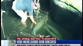 Download Seorang pria di Jombang memiliki hobi unik memelihara delapan ekor Ikan raksasa - BIS 11/01 Video
