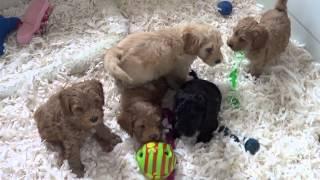 Download Tora labradoodle puppies listening to Big Bang CD Video