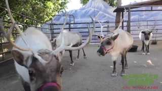 Download Real Reindeer at the L.A. Zoo Video