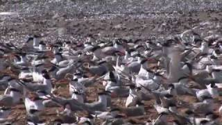 Download Isla Rasa: A Seabird Sanctuary Video