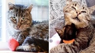 Download Grandpa Cat Waited Months to Cuddle Kittens, Has His Dream Come True Video