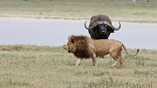 Download Brave Buffalo chases a Lion. Most Viral! Video
