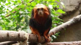 Download Golden Headed Tamarin at the Blank Park Zoo Video