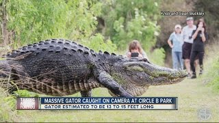 Download Only in Florida: Video of HUGE gator in Lakeland goes viral Video