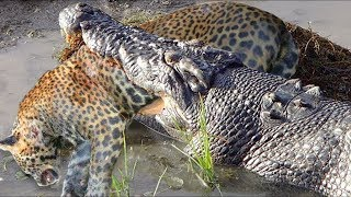 Download Amazing Hunters Become Prey - Crocodile Attacks Leopard Panic Fled Video