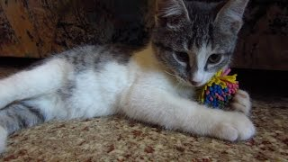 Download Kitten in the apartment with a new favorite toy Video