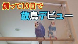 Download 【セキセイインコ】飼いだして10日で放鳥デビュー!【#4】 Video